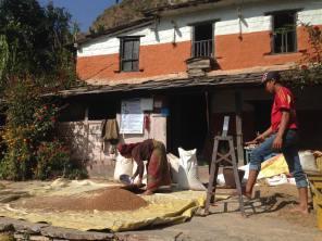 sifting rice