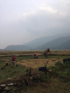 Rice Harvesting on the Seti River Banks