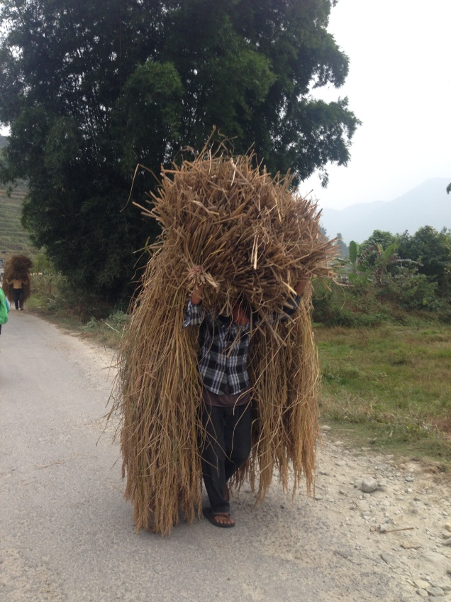 A Nepali man carries huge amounts of rice freshly harvested in the Pokhara Valley